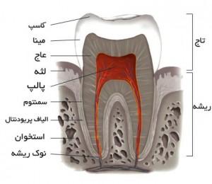 ساختمان داخلی دندان